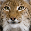 Stock Photo: Close-up of EurasiLynx, Lynx lynx, 5 years old