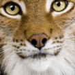 Stock Photo: Close-up of EurasiLynx's head - Lynx lynx (5 years old)