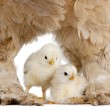 Brown Brahma Hen and her chick - Stockfoto