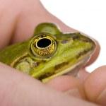 Edible Frog in a hand- Rana esculenta — Stock Photo