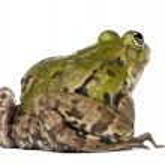 Back view of a Edible Frog - Rana esculenta — Stock Photo #10879433