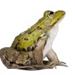 Side view of a Edible Frog looking up - Rana esculenta — Stock Photo #10879436