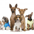 Portrait of small dogs in front of white background, studio shot — Stock Photo