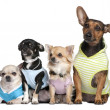 Group of 4 dogs dressed-up - Stock Photo