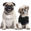 Couple of dogs : Shih Tzu dressed-up and a pug — Stock Photo #10879821