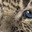 Close-up on a Persian leopard Cub (6 weeks) — Stock Photo #10879949