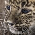 Persian leopard Cub (6 weeks) — Stock Photo #10879952