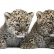 Persian leopard Cub (6 weeks) — Stock Photo