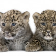 Persian leopard Cub (6 weeks) — Stock Photo #10879959