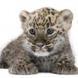 Stock Photo: Persileopard Cub (6 weeks)