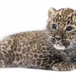 Profile of a Persian leopard Cub lying down (6 weeks) — Stock Photo