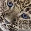 Close-up on a Persian leopard Cub (6 weeks) — Stock Photo #10879970