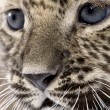 Close-up on a Persian leopard Cub (6 weeks) — Stock Photo