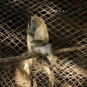Baboon in captivity — Stock Photo