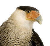 Southern Caracara (3 years) - Polyborus plancus — Stock Photo
