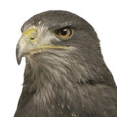 Black-chested Buzzard-eagle- Geranoaetus melanoleucus — Stock Photo