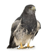 Black-chested Buzzard-eagle - Geranoaetus melanoleucus — Stock Photo