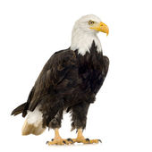 Bald Eagle (22 years) - Haliaeetus leucocephalus — Stock Photo
