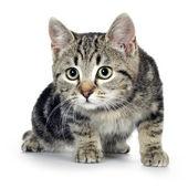 European kitten (3 months) — Stock Photo