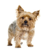 Yorkshire Terrier (5 years) — Foto Stock
