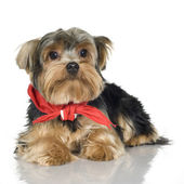 Yorkshire Terrier (1 year) — Stock Photo