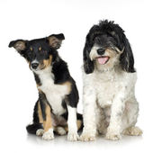 Tibetan Terrier (3 years) and puppy Border Collie (4 months) — Stock Photo