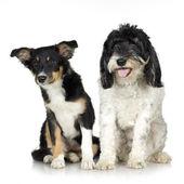 Tibetan Terrier (3 years) and puppy Border Collie (4 months) — Zdjęcie stockowe