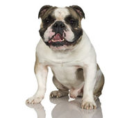 English Bulldog (3 years) — Stock Photo