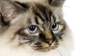 Blu-tabby-point Birman (18 months) — Stock Photo