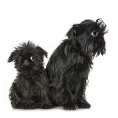 Griffon Bruxellois (3 months and 2 years) — Stock Photo