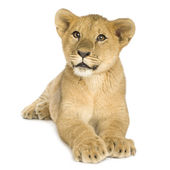 Lion Cub (5 months) — Stock Photo