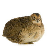 Japanese Quail - Coturnix japonica — Stock Photo