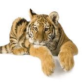Tiger cub (5 months) — Stock Photo