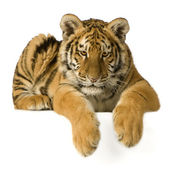 Tiger cub (5 months) — Stock Photo