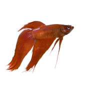 Male Siamese fighting fish — Stock Photo
