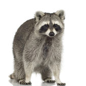 Raccoon (9 months) - Procyon lotor — Stock Photo