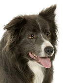 Border Collie (2 years) — Stock Photo