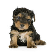Yorkshire Terrier Puppies (1 month) — Stock Photo