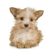 Yorkshire Terrier Puppy (2 months) — 图库照片
