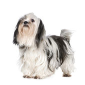 Shih Tzu — Stock Photo