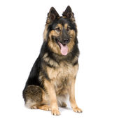 German shepherd (3 years) — Stok fotoğraf