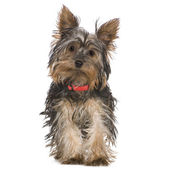 Yorkshire Terrier (5 months) — Stock Photo