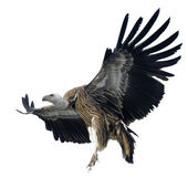 Griffon Vulture - Gyps fulvus — Stock Photo
