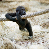 Young Silverback Gorilla — Stock Photo