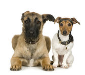 Jack russell and Crossbreed dog — Stock Photo
