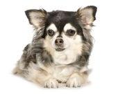 Long haired Chihuahua (11 years) — Stock Photo