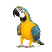 Young Blue-and-yellow Macaw - Ara ararauna (8 months) — Zdjęcie stockowe