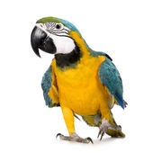 Young Blue-and-yellow Macaw - Ara ararauna (8 months) — Stock Photo