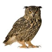 Eurasian Eagle Owl - Bubo bubo (22 months) — Stock Photo