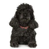 Poodle (7 years) — Stock Photo